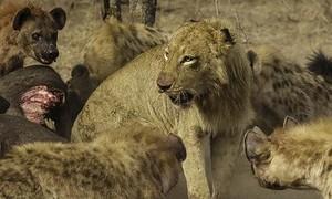 """Clip sư tử bị đàn linh cẩu """"truy sát"""" bỏ chạy thục mạng"""