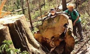 """Lâm Đồng: Đình chỉ 4 trưởng ban quản lý rừng vì để """"thua"""" lâm tặc"""