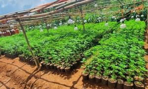 Bắt quả tang 2 đối tượng trồng trái phép gần 3.000 cây cần sa
