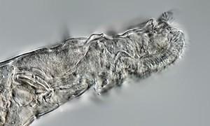 Loài luân trùng sống lại từ lớp băng vĩnh cửu sau 24.000 năm gây kinh ngạc