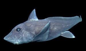 """Clip hình ảnh hiếm có về """"cá mập ma"""""""