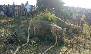 Ấn Độ 'thu phục' thành công voi mang tên trùm khủng bố Osama bin Laden