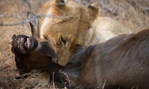 Clip linh dương vật lộn với sư tử quyết liệt và chiến thắng