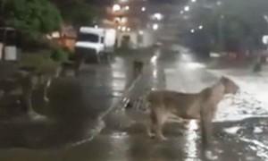 Clip 7 con sư tử lang thang trong khu dân cư ở Ấn Độ
