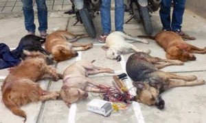 Bắt và triệu tập 30 nghi phạm trong đường dây trộm hàng trăm tấn chó