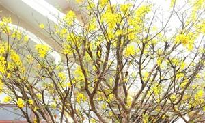 Cho thuê hoa mai dịp Tết kiếm hàng trăm triệu đồng