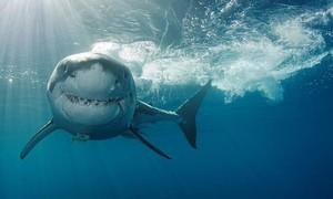 Cá mập cắn chết người tắm biển ở Úc
