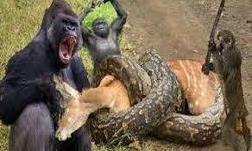 """Clip cả đàn khỉ cầm gậy hợp sức cứu nai khỏi trăn """"khủng"""""""