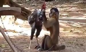 """Clip gà chọi ôm hận khi """"cà khịa"""" khỉ con"""