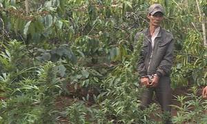 """""""Lão nông"""" trồng hơn 1.000 cây cần sa trong rẫy cà phê"""