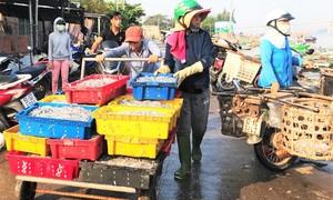 Ngư dân trúng đậm cá cơm, kiếm tiền triệu mỗi đêm