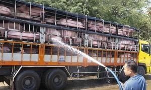 Tới đây, mỗi ngày sẽ có 4.000-5.000 con heo sống nhập về Việt Nam