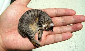Xem loài mèo nhỏ nhất hành tinh, nằm gọn trong lòng bàn tay