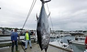 Clip hồi hộp màn săn bắt cá ngừ vây xanh trị giá triệu đô