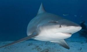 Người vợ mang bầu cứu chồng thoát khỏi 'hàm cá mập' ở Mỹ