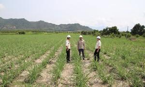 Vietsugar đẩy mạnh phát triển vùng nguyên liệu mía đường