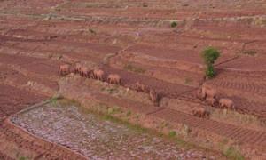 Đàn voi bất ngờ di cư xuyên Trung Quốc, ngược quy luật gây chú ý
