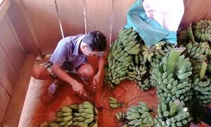Người dân Trà Leng thu hoạch nông sản ủng hộ nhân dân TPHCM