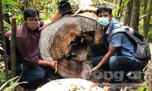 Quảng Ngãi: Rừng phòng hộ gần trạm bảo vệ rừng bị chặt phá