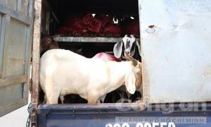 TPHCM: CSGT phát hiện xe 'luồng xanh' chở 41 con dê sống chưa kiểm dịch