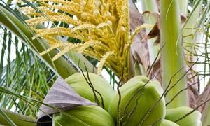 Bỗng nhớ mùi thơm hoa dừa