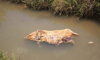 Hãi hùng nhiều xác heo trôi nổi trên kênh ở vùng dịch tả lợn Châu Phi