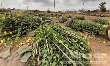 Chợ hoa Tết như bãi chiến trường