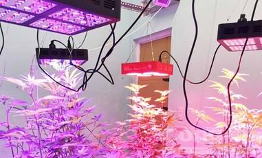 """Lâm Đồng: Bắt vụ trồng cần sa bằng đèn led 7 màu """"độc"""" chưa từng có"""