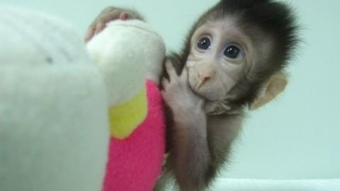 Chú khỉ Zhong Zhong được sinh ra từ công nghệ nhân bản vô tính - Ảnh: Chinise Academy of Sciences