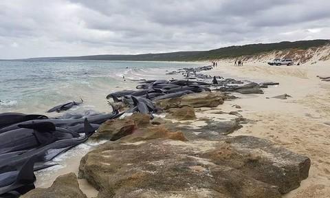 Gần 150 con cá voi dạt vào bờ biển nước Úc