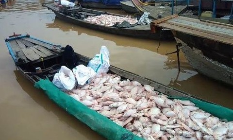 Cá bè sông La Ngà chết hàng loạt, người nuôi điêu đứng