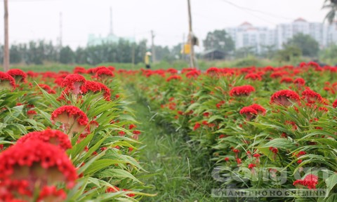 Vườn hoa phục vụ Tết vùng ven Sài Gòn đua nhau khoe sắc