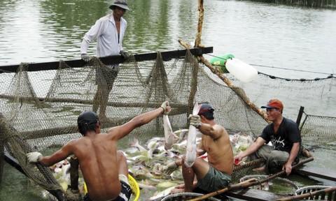 Giá cá tra liên tục giảm, nông dân than lỗ