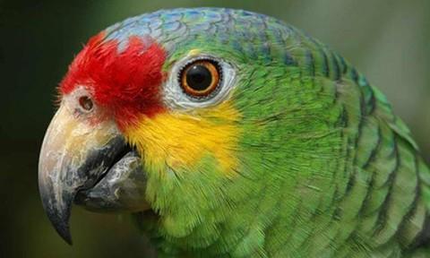 Nhóm buôn ma túy ở Brazil nuôi vẹt để 'thông báo' có cảnh sát