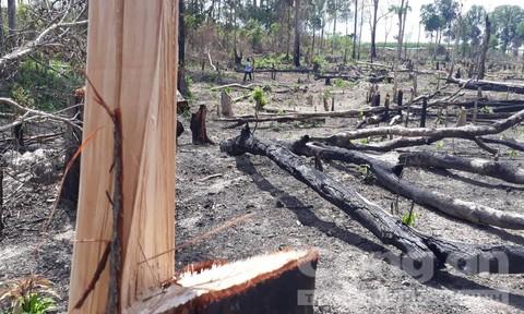 """Chùm ảnh rừng biên giới Gia Lai bị khai thác """"hủy diệt"""""""