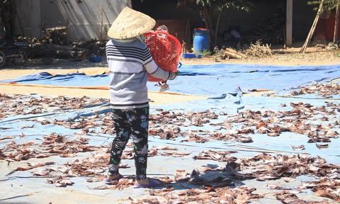 Ngư dân Quảng Ngãi khốn đốn vì giá mực khô giảm mạnh