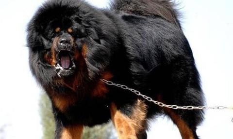 """Cận cảnh chó ngao Tây Tạng """"xử"""" chó sói"""