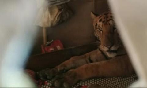 Hổ vào tận giường nhà dân để tránh lũ