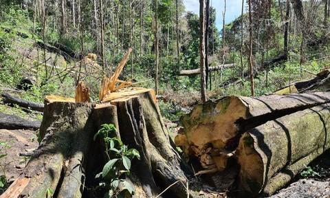 Bắt 3 đối tượng triệt hạ rừng bạch tùng trăm tuổi