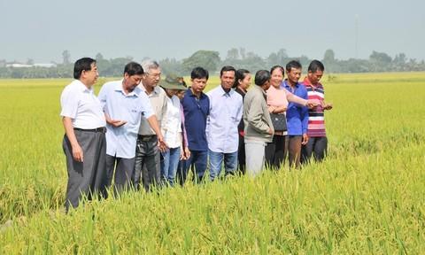 Chuyện lạ ở An Giang: Chăm bón lúa bằng sữa, trứng gà thay phân, thuốc