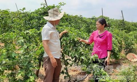 Người trồng chanh dây Bắc Tây Nguyên điêu đứng vì giống dỏm
