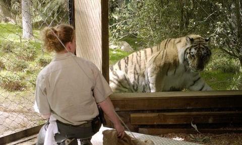 Hổ ở vườn thú New York được xác định nhiễm nCoV