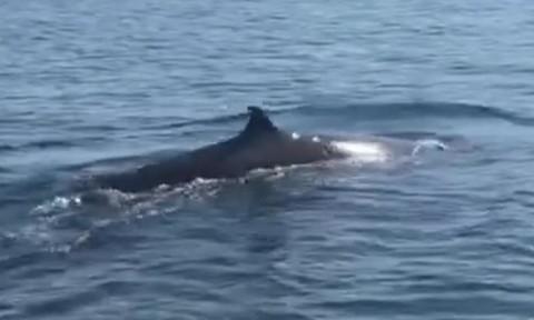Cá voi lớn xuất hiện ở vùng biển Cù Lao Chàm