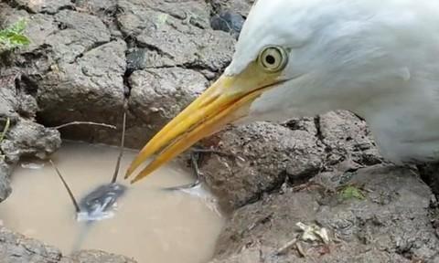 Clip con cò ngồi rình cá trê dưới hang nhiều giờ liền