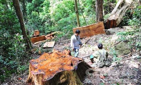 Lâm tặc liều lĩnh khai thác cây giáng hương cổ thụ