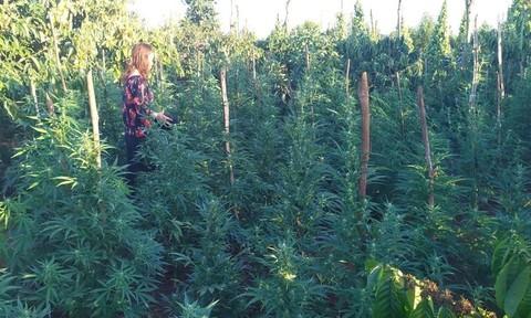 Trồng hàng trăm cây cần sa để lấy lá cho... gà ăn
