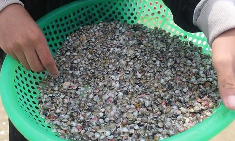 Quảng Ngãi: Người dân cào ốc gạo kiếm tiền triệu mỗi ngày