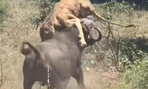 Clip trâu rừng húc chết sư tử rồi lạnh lùng bỏ đi